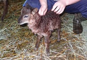 Newborn Lamb #2
