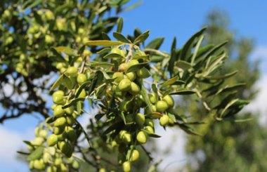 Grüne Oliven am Zweig für Kreta Olivenöl