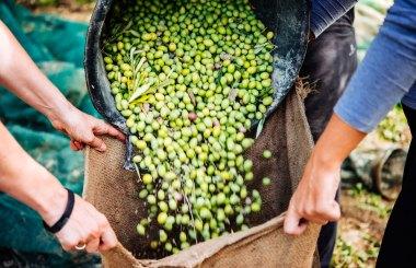 Grüne Oliven für Kreta Olivenöl
