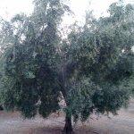 Olivo en plena producción