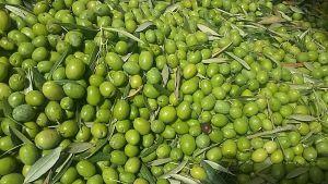 Mirad el estado del fruto, completamente verde.