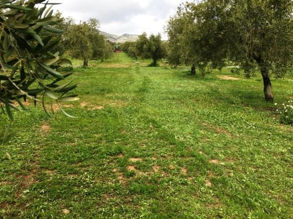 olivar ecológico. Desbrozado (Granada). Abril 2016