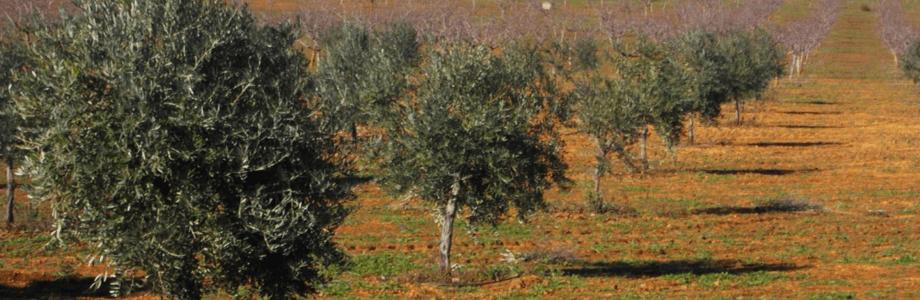 olivar2