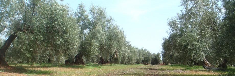 olivar_ecologico1
