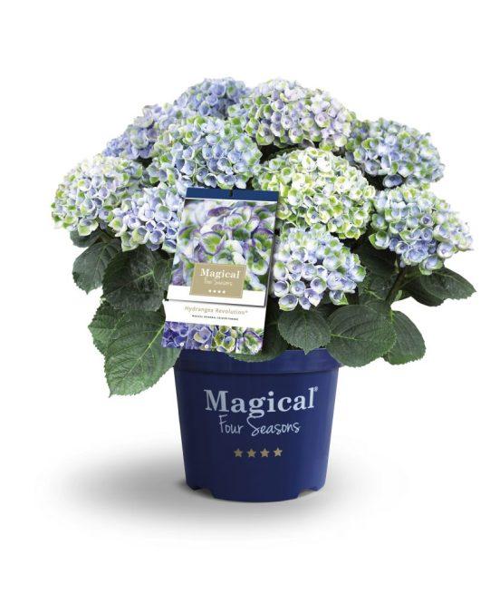 hortensia Magical