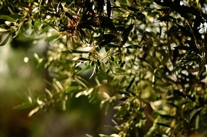 huile d'olive et oliviers