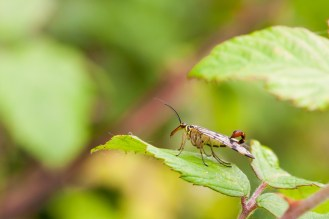 """Spotted this Scorpion Fly on a walk round Ditchford Lakes and Meadows for #30DaysWild day 14. This is panorpa communis, the """"sting"""" signifies that this is a male as the females don't have one. It's actually not a sting at all, instead being for clasping the female during mating."""