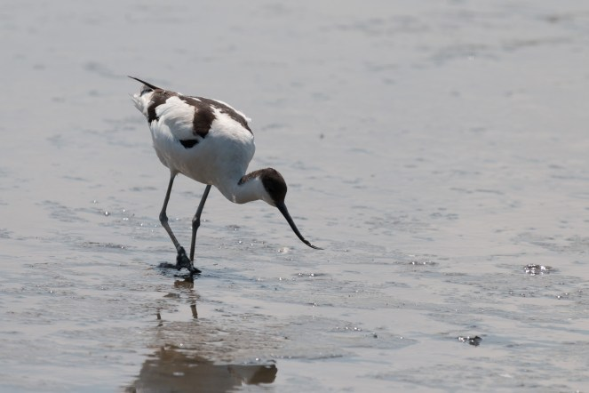 Avocet stalking through the mud, looking for food.