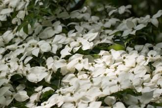 Lovely blanket of white flowers on this Flowering Dogwood. I think this is Cornus Kousa.