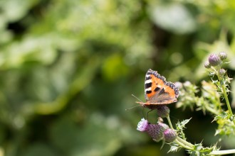 A Small Tortoiseshell butterfly on a creeping thistle flower.