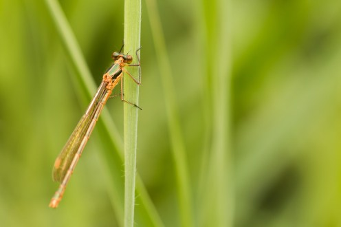 A female Emerald Danselfly.