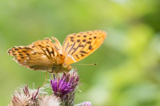 A Silver-washed Fritillary butterfly looking a bit worn. Photos from Wildlife Trust Brampton Wood in Cambridgeshire.