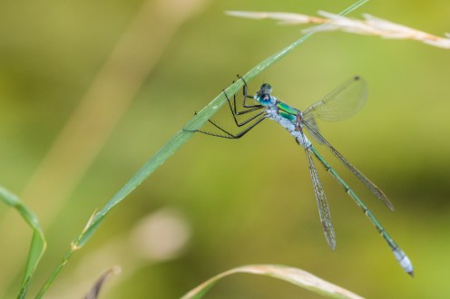 A male Emerald damselfly. Photos from Wildlife Trusts Felmersham Gravel Pits nature reserve in Bedfordshire, UK.