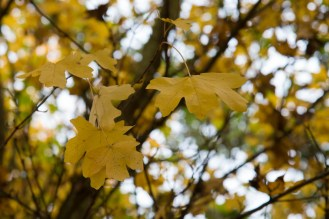 Yellow leaves on a field maple. Photos from Wildlife Trusts Summer Leys nature reserve in Northamptonshire, UK.