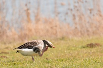 Greylag goose having a scratch. Photos from Wildlife Trusts BCN Titchmarsh Nature Reserve.