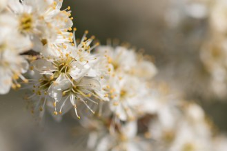 More Blackthorn blossom catching the sunlight. Photos from Wildlife Trusts BCN Titchmarsh Nature Reserve.