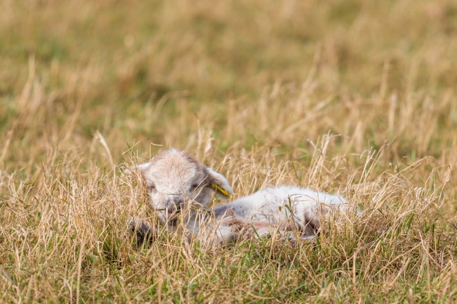 One of several lambs, dozing in the warm sun. Photos from Wildlife Trusts BCN Titchmarsh Nature Reserve.