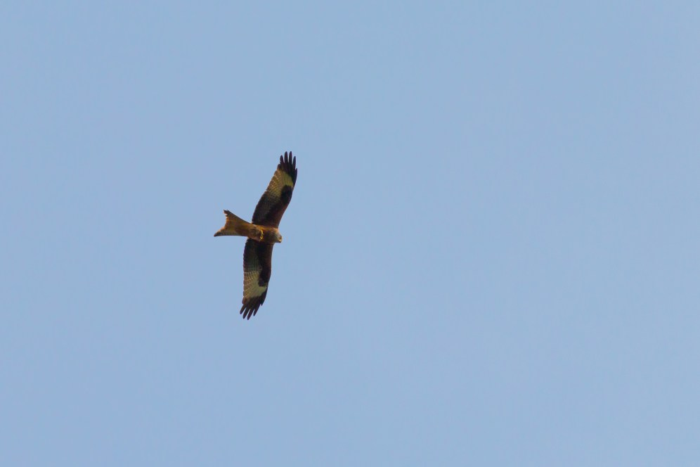 A magnificent Red Kite, soaring over the lakes. Photos from Wildlife Trusts BCN Titchmarsh Nature Reserve.