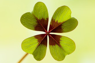 One of the striking leaves of oxalis tetraphylla, these are where the common name of 'Iron Cross' comes from.
