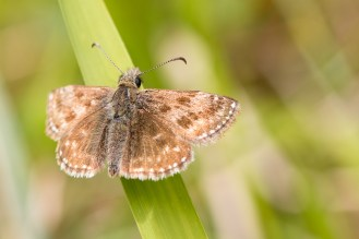 A Dingy Skipper butterfly sun bathing in the Whitestones area of Twywell Hills and Dales. Photos from a trip to Twywell Hills and Dales and Twywell Plantation for day 5 of #30DaysWild.