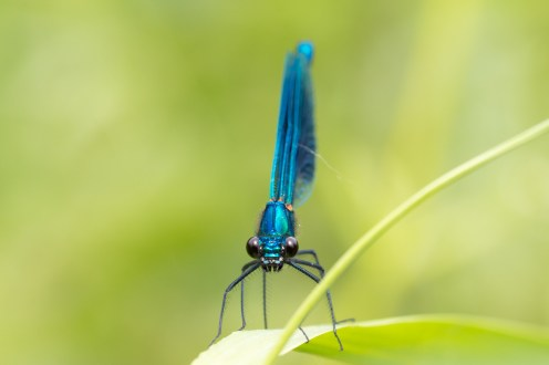 Headshot of a male banded demoiselle damselfly. Photos from a trip to Ditchford Lakes and Meadows for day 11 of #30DaysWild.