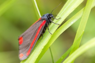 Found this cinnabar moth in my wild patch, looked quite recently emerged. Garden nature spotting again for day 27 of #30DaysWild.
