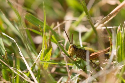 Grasshopper having a nibble on a grass stem. Photos from Holme Fen on July 14th 2016.