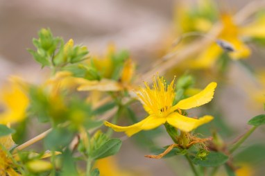 Bright yellow flowers of Perforate St John's-wort. Photos from New Decoy Farm on July 14th 2016.