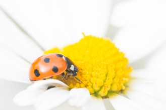 A 7 spot ladybird nestle in an oxeye daisy flower. Garden nature spotting again for day 27 of #30DaysWild.