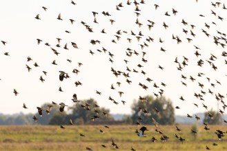 A flock of starlings and a few lapwings swirling through the sky above the washes. Photos from RSPB Ouse Washes.
