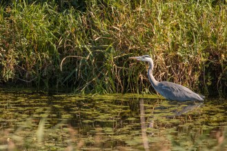 Grey heron fishing in one of the drainage ditches. Photos from RSPB Ouse Washes.