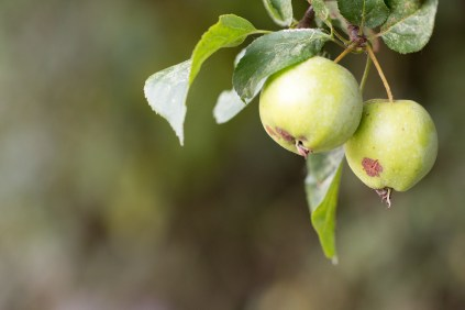 Nice ripe apples on a crab apple tree. Photos from a trip to Wildlife Trusts Summer Leys LNR in early October.