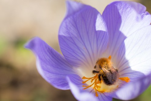 Carder bees still about, feeding on the autumn crocuses.