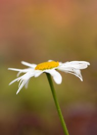 A solitary oxeye daisy, still stubbornly flowering despite the cold in the garden.