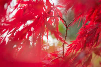 The red acer in my garden getting brighter as the leaves take on their richer autumn colours.
