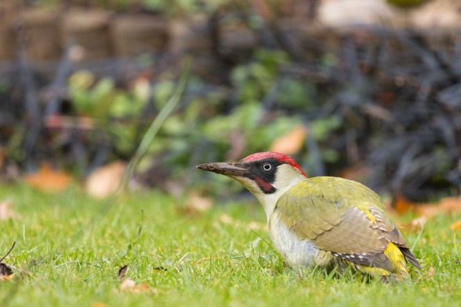 A few pictures of a green woodpecker digging up ants from the garden lawn.