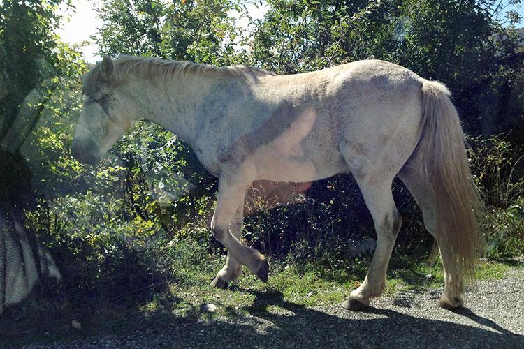 montenegro-horses