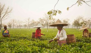 assam tea garden northeast india