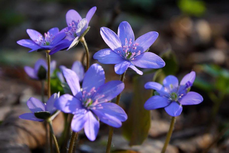 Blåveisen i full blomst