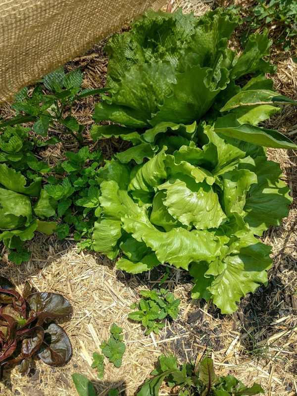 summer gardening australia lettuce how to grow