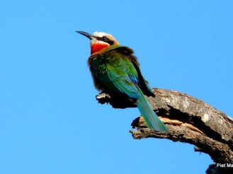 INY-Bee-eater