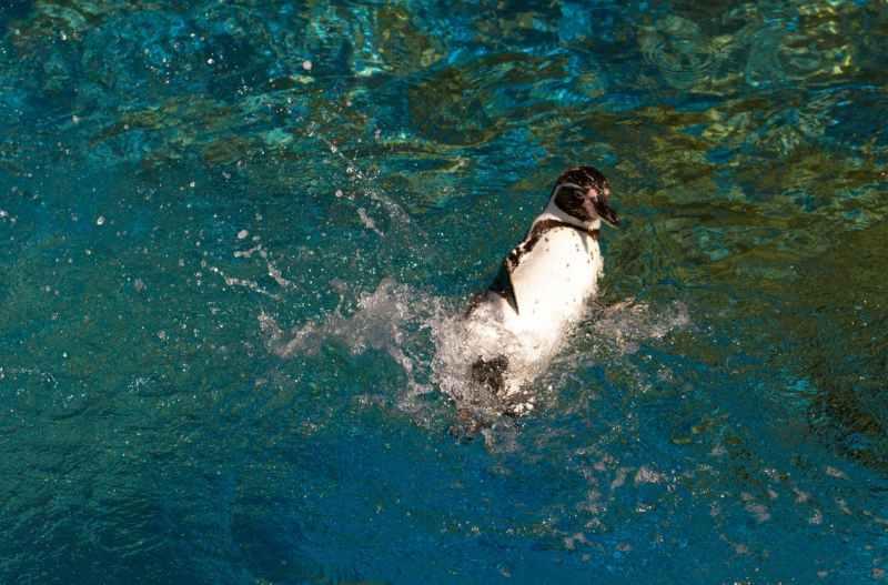Penguin in water