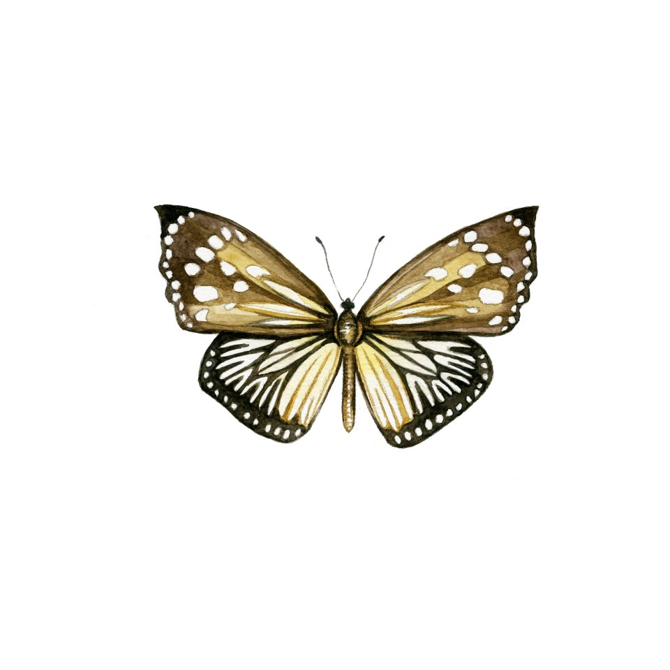 Castalia chandra butterfly