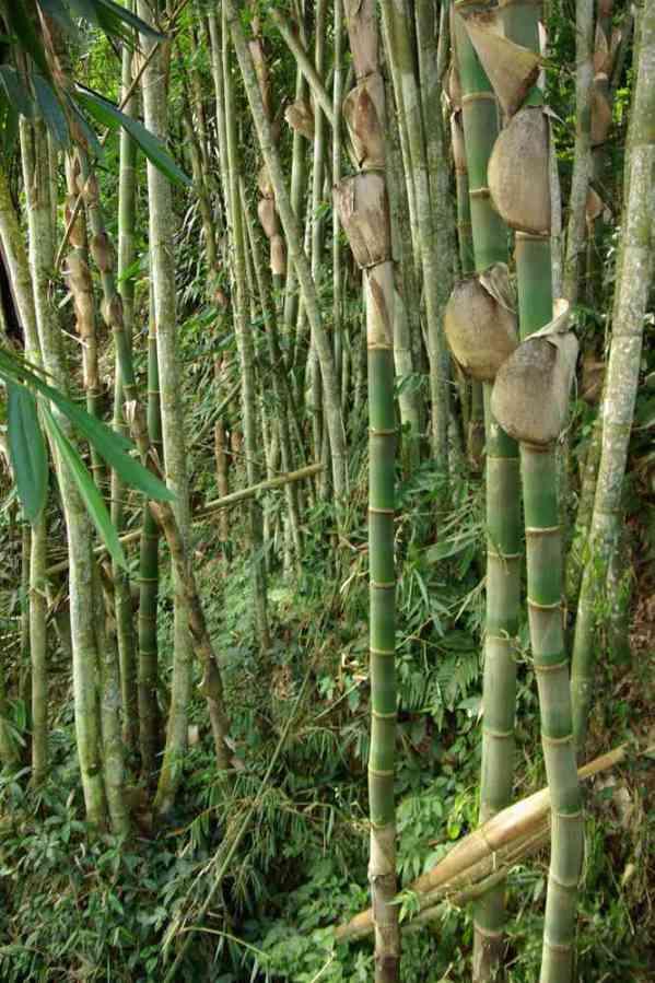 Forêt de bambous sur les pentes d'une ravine