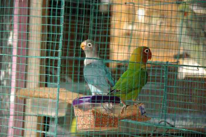 Oiseaux dans le marché animal de Yogyakarta, le 22 juillet 2007