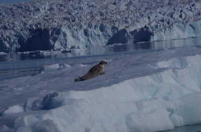 Un phoque sur un iceberg, en face du glacier Equip Sermia (14 août 2002)