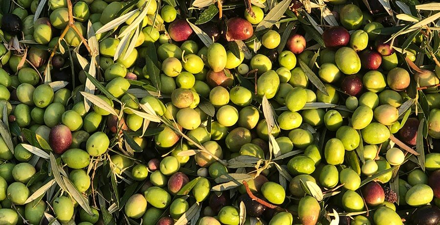 aceituna-arbequina