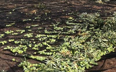 ¿Cuándo se recoge la aceituna de nuestros olivos?