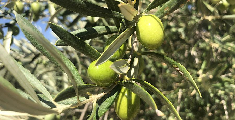 la-aceituna-es-una-fruta