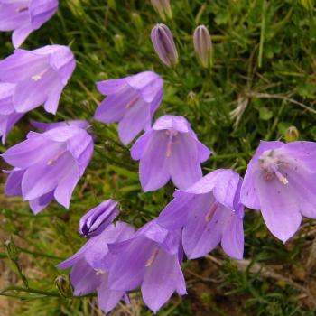 Campanula rotundifolia sp. rotundifolia (Linneo, 1753)
